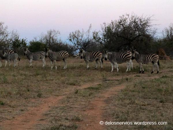 Cebras en Limpopo